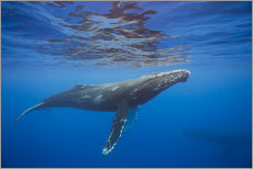 Wall Stickers  Humpback whale under water - Dave Fleetham