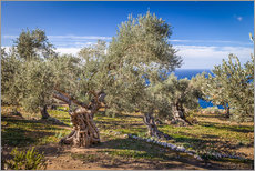 Gallery print  Ancient olive trees in Mallorca (Spain) - Christian Müringer