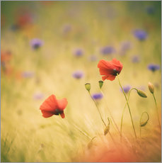 Gallery print  Wind Poppy - Moqui, Daniela Beyer