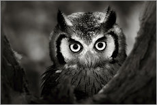 Gallery print  White-faced Owl perched in a tree - Johan Swanepoel