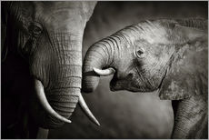 Gallery print  Baby elephant interacting with Mother - Johan Swanepoel