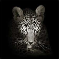 Wall sticker  Leopard portrait licking it's paw - Johan Swanepoel