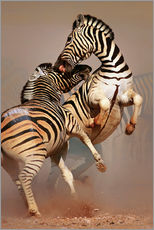 Gallery print  Two Stallions fighting and biting with raised legs - Johan Swanepoel