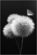 Wall Stickers Fluffy dandelions close-up