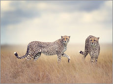 Wall Stickers  Cheetahs on the hunt