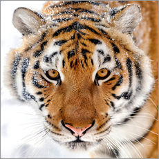 Gallery print  Siberian tiger in the snow