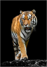 Wall Stickers  male Tiger