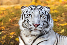 Wall Stickers  White Tiger in closeup