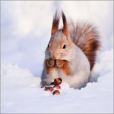 Gallery print  Squirrel in the snow