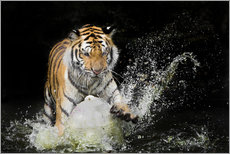 Gallery Print  Tiger Makes the water