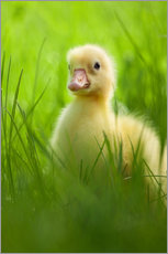 Gallery print  Sweet little goose in the green grass