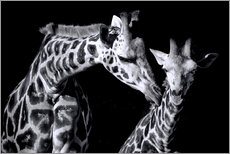 Gallery print  Mother and child giraffe - Sabine Wagner
