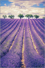 Wall sticker  Lavender Field with Trees in Provence, France