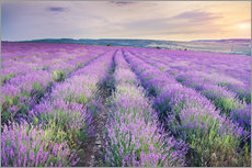 Gallery Print  Meadow of lavender on sunset