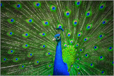 Gallery print  beautiful peacock with feathers