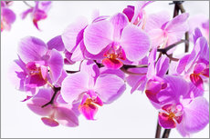 Wall sticker  Beautiful pink-magenta orchid