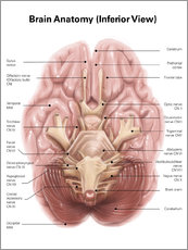 Wall sticker  Anatomy of human brain, inferior view - Alan Gesek