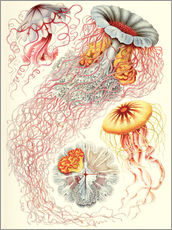 Gallery print  Discomedusae jellyfish species - Ernst Haeckel