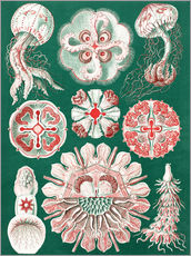 Wall sticker  Chart of jellyfish species - Ernst Haeckel