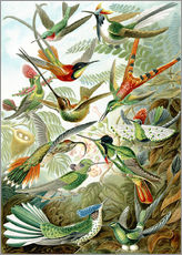 Wall Stickers  Trochilidae hummingbirds - Ernst Haeckel