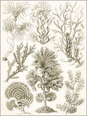 Wall sticker  Plate of seaweed - Ernst Haeckel