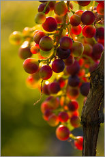 Gallery Print  Grape vine in the evening sun - Edith Albuschat