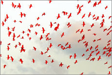 Gallery Print  Scarlet ibis (Eudocimus ruber) flock in flight