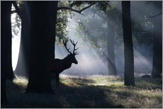 Gallery print  Stag in the morning light - Alex Saberi