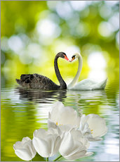 Gallery print  Two swans in love