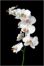 Wall Stickers  White orchid on a black background