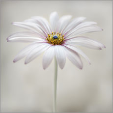 Gallery print  Cape daisy - Mandy Disher