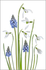 Gallery print  Snowdrops and Muscari - Mandy Disher