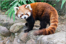 Wall sticker  Red Panda (Ailurus fulgens), Sichuan Province, China, Asia - G & M Therin-Weise