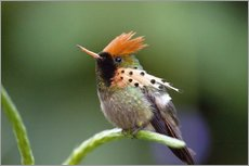 Wall sticker  Tufted coquette hummingbird - Bob Gibbons