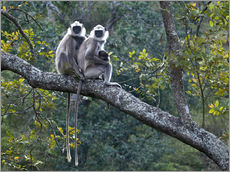 Gallery Print  Grey langur monkeys - K Jayaram