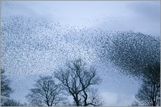 Wall Sticker  Starlings flying to roost - Ashley Cooper