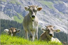 Gallery print  Cows in an alpine pasture - Ashley Cooper