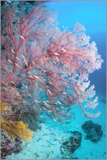 Gallery print  Melithaea sea fan - Georgette Douwma