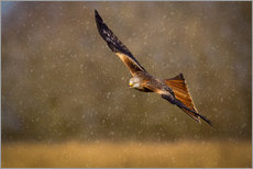 Wall sticker  Red kite in flight - Andrew Sproule