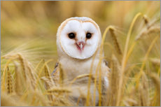 Gallery print  Barn owl in wheat field - Ann & Steve Toon
