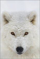 Wall sticker  Arctic Wolf - Dominic Marcoux