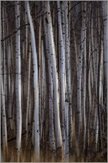 Wall sticker  Forest of birch trees - Ron Harris