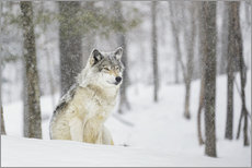 Gallery print  philosophical wolf - Dominic Marcoux