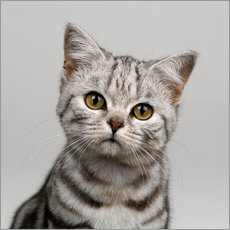 Gallery print  Young silver tabby cat - Simon Murrell