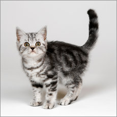 Wall sticker Silver tabby kitten