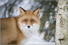 Gallery print  Red fox in the snow - P. Marazzi