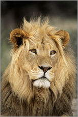 Gallery print  Male lion - Peter Chadwick