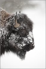 Gallery print  Bison in the snow - P. Marazzi