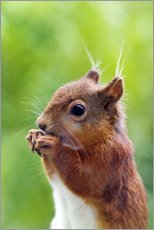 Gallery Print  Red squirrel - Simon Fraser