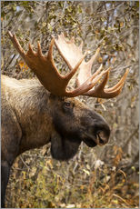 Gallery print  Moose in profile - Doug Lindstrand
